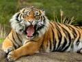 Oyunu Animals Jigsaw Puzzle Tiger