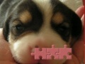 Игра Cute puzzle: Puppy